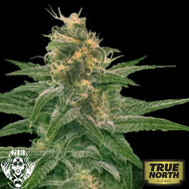 Chocolate Heaven FEMINIZED Seeds (G13 Labs)