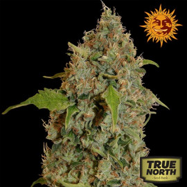 Chronic Thunder Feminized Seeds (Barney's Farm)
