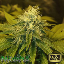Chrystal FEMINIZED Seeds (Nirvana Seeds)