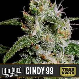 Cindy 99 Feminized Seeds (BlimBurn Seeds)