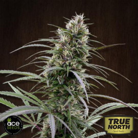 Congo Regular Seeds (Ace Seeds)