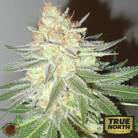 Cotton Candy Cane REGULAR Seeds (Emerald Triangle)