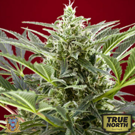 Cream 47 Feminized Seeds (Sweet Seeds)