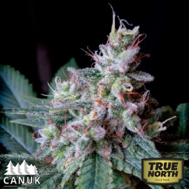 Cream AUTO FEMINIZED Seeds (Canuk Seeds)
