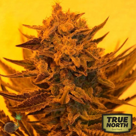 Critical Sour Diesel FEMINIZED Seeds (Emerald Triangle)
