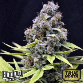 Critical Automatic Feminized Seeds (BlimBurn Seeds)