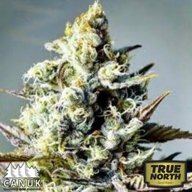 Critical Killer Fast Feminized Seeds (Canuk Seeds)