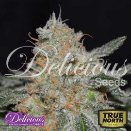 Critical Nevilles Haze 2.0 FEMINIZED Seeds (Delicious Seeds)
