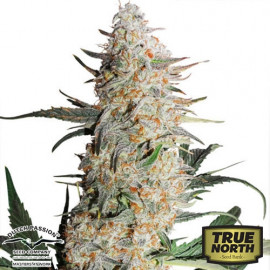 Critical Orange Punch Feminized Seeds (Dutch Passion)