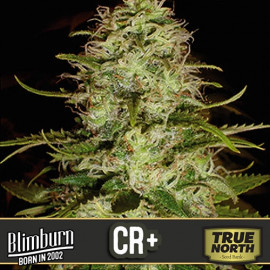 CR+ Feminized Seeds (BlimBurn Seeds)