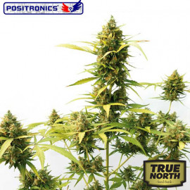 Critical Express Autoflowering Feminized Seeds (Positronics Seeds)