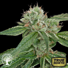 Crockett's Confidential REGULAR Seeds (Crockett Family Farms)