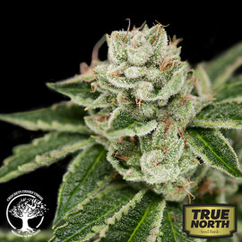 Crockett's Dawg REGULAR Seeds (Crockett Family Farms)