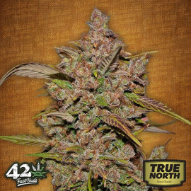 Crystal METH Auto Feminized Seeds (FastBuds)