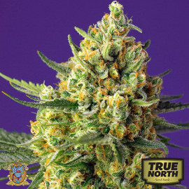 Crystal Candy XL Auto Feminized Seeds (Sweet Seeds)