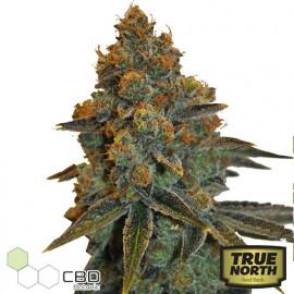 CBD D Diesel Feminized Seeds (CBD Botanic)