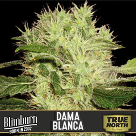 Dama Blanca Feminized Seeds (BlimBurn Seeds)