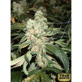 Dark Star Kush Feminized Seeds (T.H.Seeds)