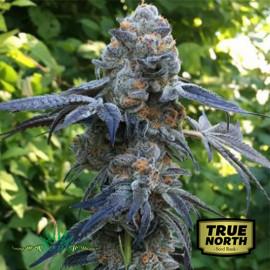Death Scout REGULAR Seeds (BC Bud Depot)