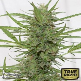 Dr. Greenthumb's Dedoverde Haze Auto Fem Seeds (Humboldt Seed Org)