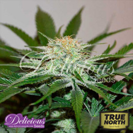 Descojack FEMINIZED Seeds (Delicious Seeds)