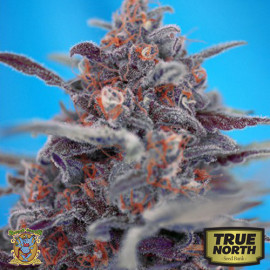 Devil Cream AUTO Feminized Seeds (Sweet Seeds)