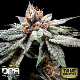 DJ's Gold FEMINIZED Seeds (DNA Genetics)