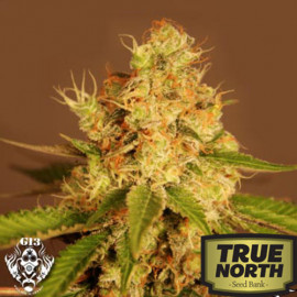 Diesel AUTO FEMINIZED Seeds (G13 Labs)