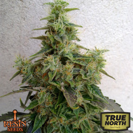 Dieseltonic Feminized Seeds (Resin Seeds)