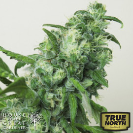 Digweed FEMINIZED Seeds (House of The Great Gardener)