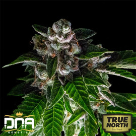 Bakers Delight FEMINIZED Seeds (DNA Genetics - Sorbet Collection)