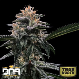 Banana Sorbet FEMINIZED Seeds (DNA Genetics - Sorbet Collection)
