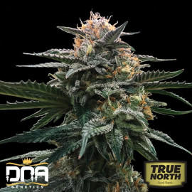 Blood Orange Sorbet FEMINIZED Seeds (DNA Genetics - Sorbet Collection)
