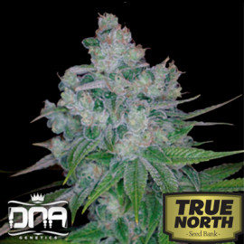 Kandy Kush x Skunk Regular Seeds (DNA Genetics)