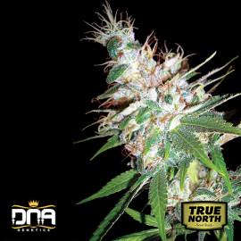 L.A. Woman FEMINIZED Seeds (DNA Genetics)