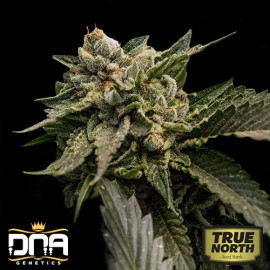 Strawberry Sorbet FEMINIZED Seeds (DNA Genetics - Sorbet Collection)