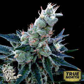 Double Alien 18 FEMINIZED Seeds (DNA Genetics - Grow Your Own)