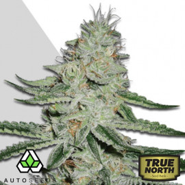 Dreamberry AUTO FEMINIZED Seeds (Auto Seeds)