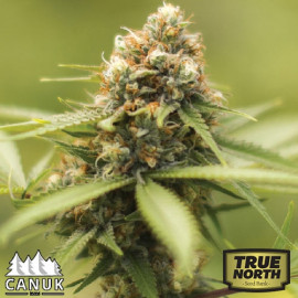 Durban Poison Feminized Seeds (Canuk Seeds)