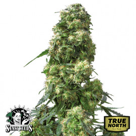 Early Skunk REGULAR Seeds (Sensi Seeds)