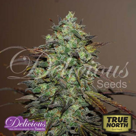 Eleven Roses FEMINIZED Seeds (Delicious Seeds)