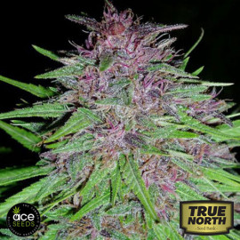 Erdpurt Feminized Seeds (Ace Seeds)