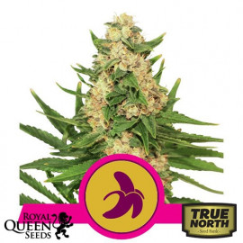 Fat Banana Feminized Seeds (Royal Queen Seeds)