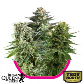 Feminized Mix Seeds (Royal Queen Seeds)