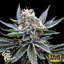 Florida Gold FEMINIZED Seeds (DNA Genetics - Grow Your Own)