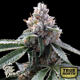Florida Lemon FEMINIZED Seeds (DNA Genetics - Grow Your Own)