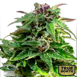Forest Dream Feminized Seeds (Dutch Passion)