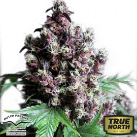 Frisian Duck Feminized Seeds (Dutch Passion)