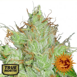 G13 Haze REGULAR Seeds (Barney's Farm)