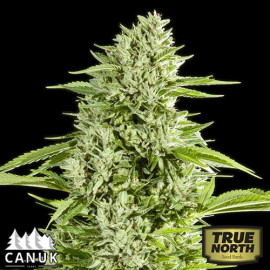 GG#4 Fast Feminized Seeds (Canuk Seeds)